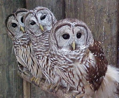 barred-owls-perched